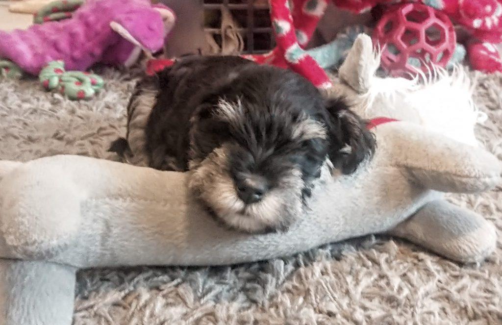 Piper A pup